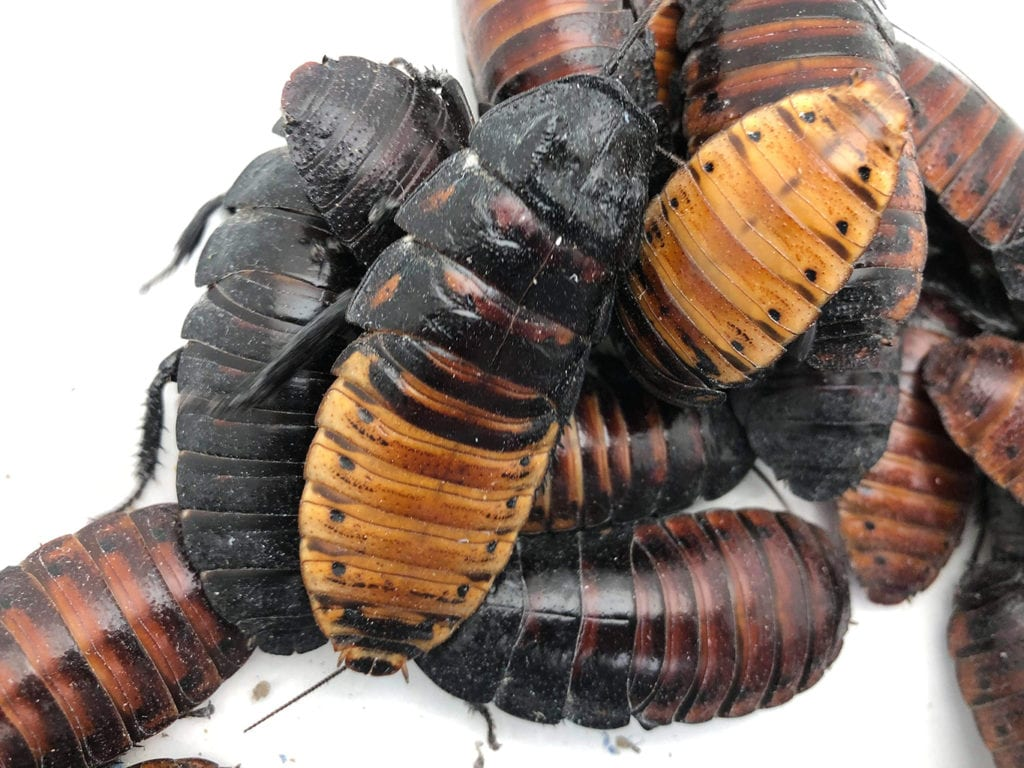 hissing cockroach care sheet