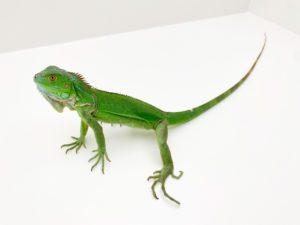 Green Iguana CF21