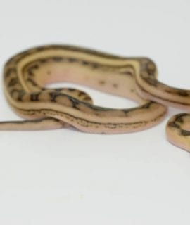 Male Super Tiger Anthrax Mainland Reticulated Python CB17
