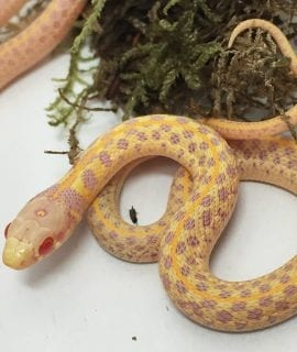 Albino Garter Snake CB17