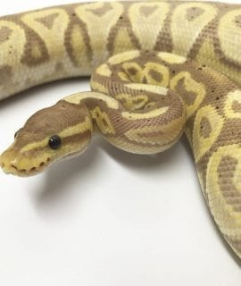 Male Banana Black Pastel Royal Python CB16