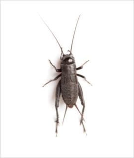 Black Crickets pre pack Stand Large