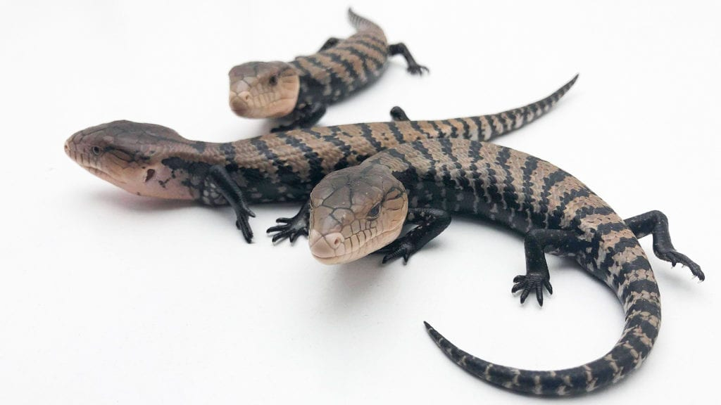 About blue tongue skink