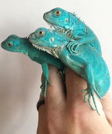 Blue Iguana CF18