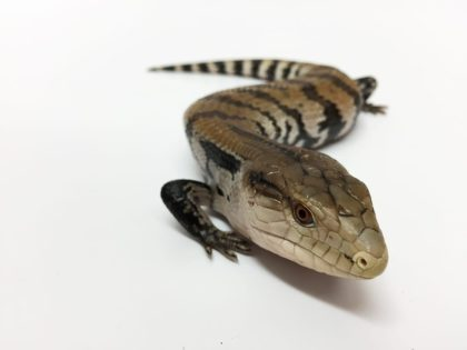 Our Blue Tongue Skink Care Sheet