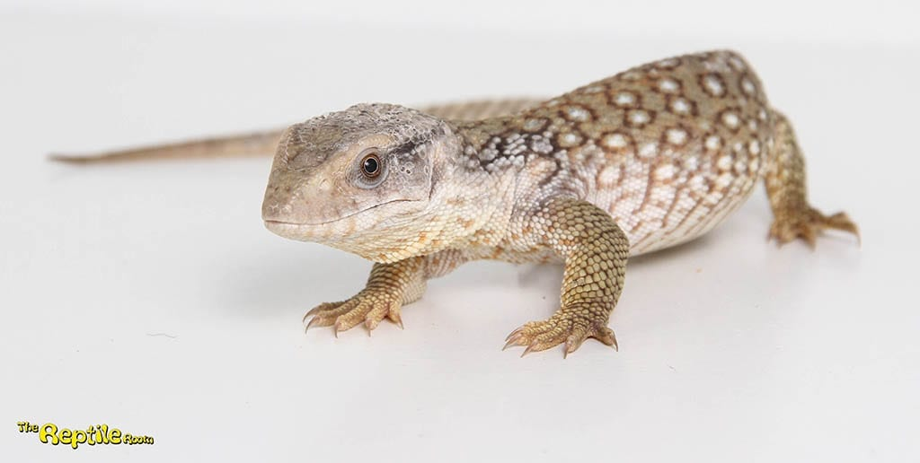 Bosc Monitor CB19 - PRE ORDER ONLY