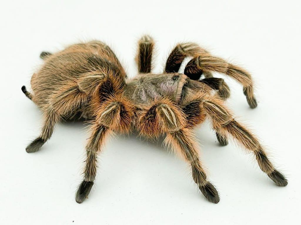 Our tarantula care sheet