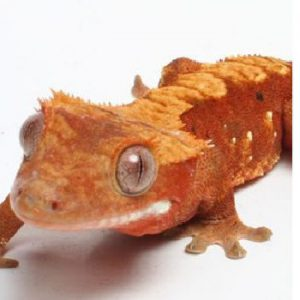 Female Flame and Harlequin Crested Gecko CB18