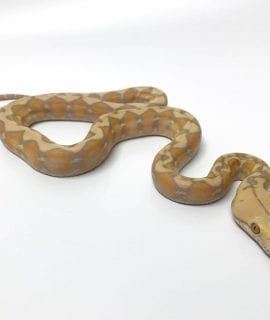 Female Amaretto Dwarf Reticulated Python CB17