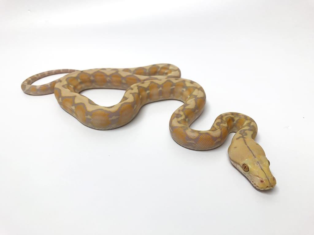 Female Amaretto Dwarf Reticulated Python CB17