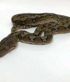 Female Sunfire Mainland Reticulated Python CB16