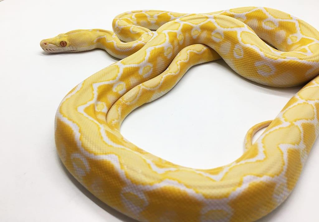 Female White Sunfire het Genetic Stripe Dwarf Reticulated Python CB15