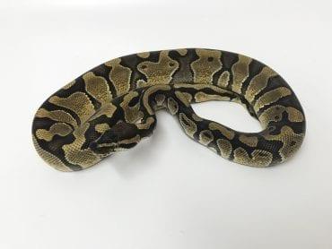 Female Enchi Royal Python CB19