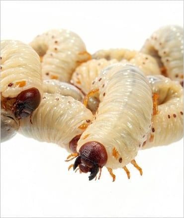 Fruit-beetle (Pachnoda) Grubs pre-pack