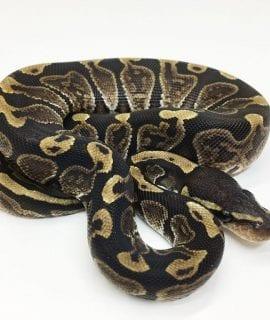 Female GHI het Albino VPI Axanthic Royal Python CB16