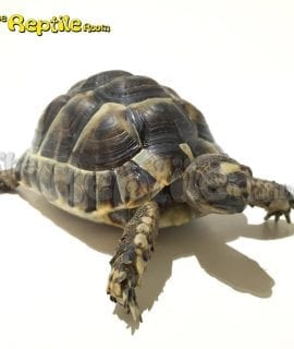 0.0.1 Greek Spur Thighed Tortoise CB16