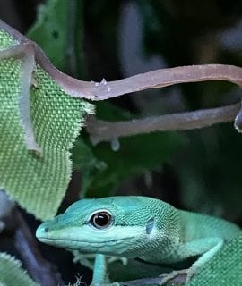 0.0.1 Green Longtail Grass Lizard CB