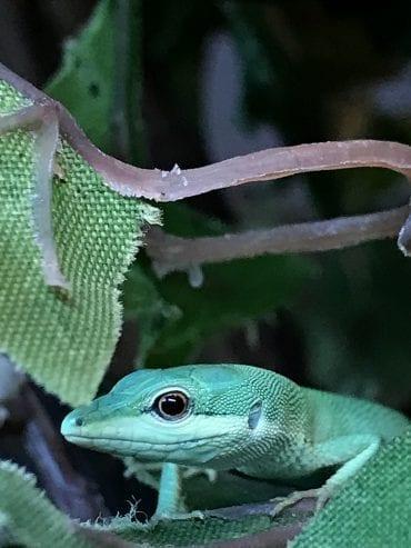 0.0.1 Green Longtail Grass Lizard CB