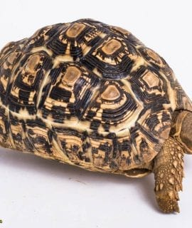 Leopard Tortoise CB16