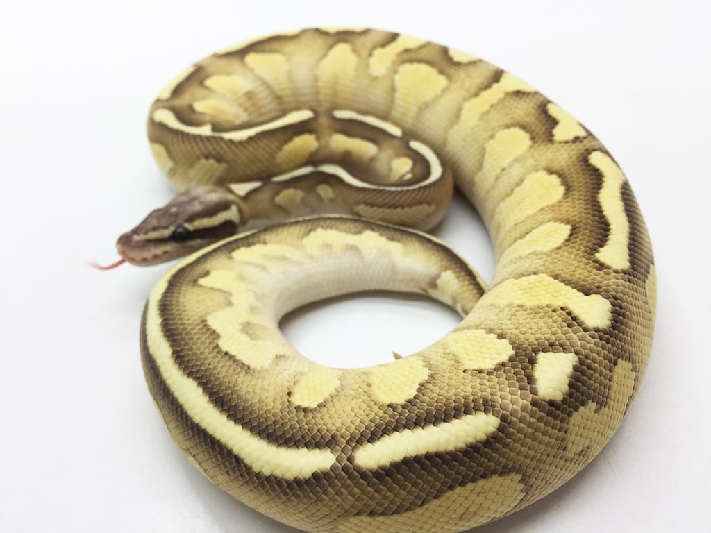 Male Lesser Firefly EXO LBB WF Royal Python CB16