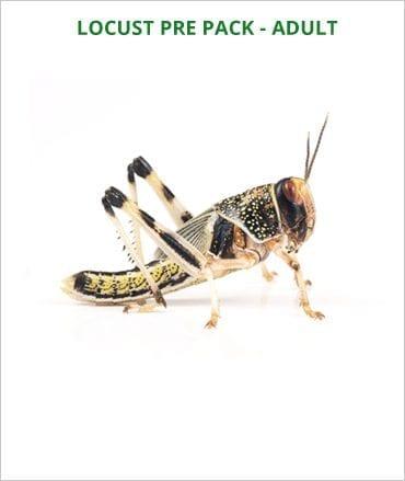 Locusts pre pack Adult