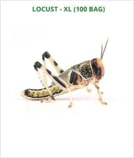 Locusts Extra-Large 1 x BAG OF 100