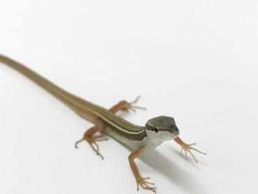 Long Tail Lizard