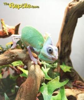 Female Pied Yemen Chameleon CB18