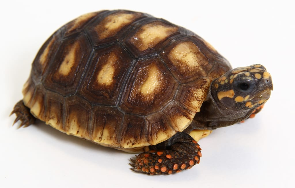 red foot tortoise care sheet