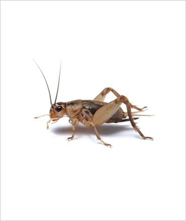 Silent Crickets pre-pack, Med/Small