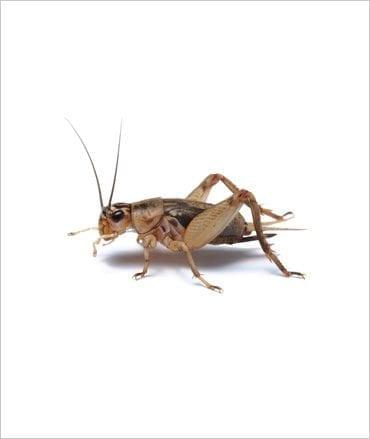 Silent Crickets pre pack Standard