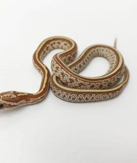 Male Strawberry (JMG) Hypo Tessera ph Anery Corn Snake CB17