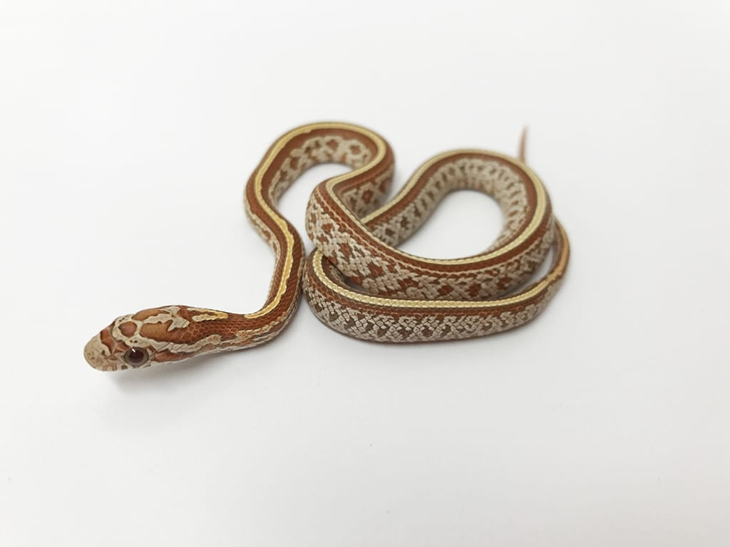 Male Strawberry (JMG) Hypo Tessera ph Anery Corn Snake CB17