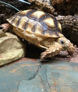 African Spurred Tortoise CB19