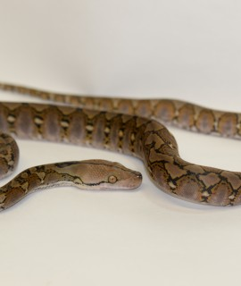 Male Classic het Purple Albino Super Dwarf Reticulated Python CB17