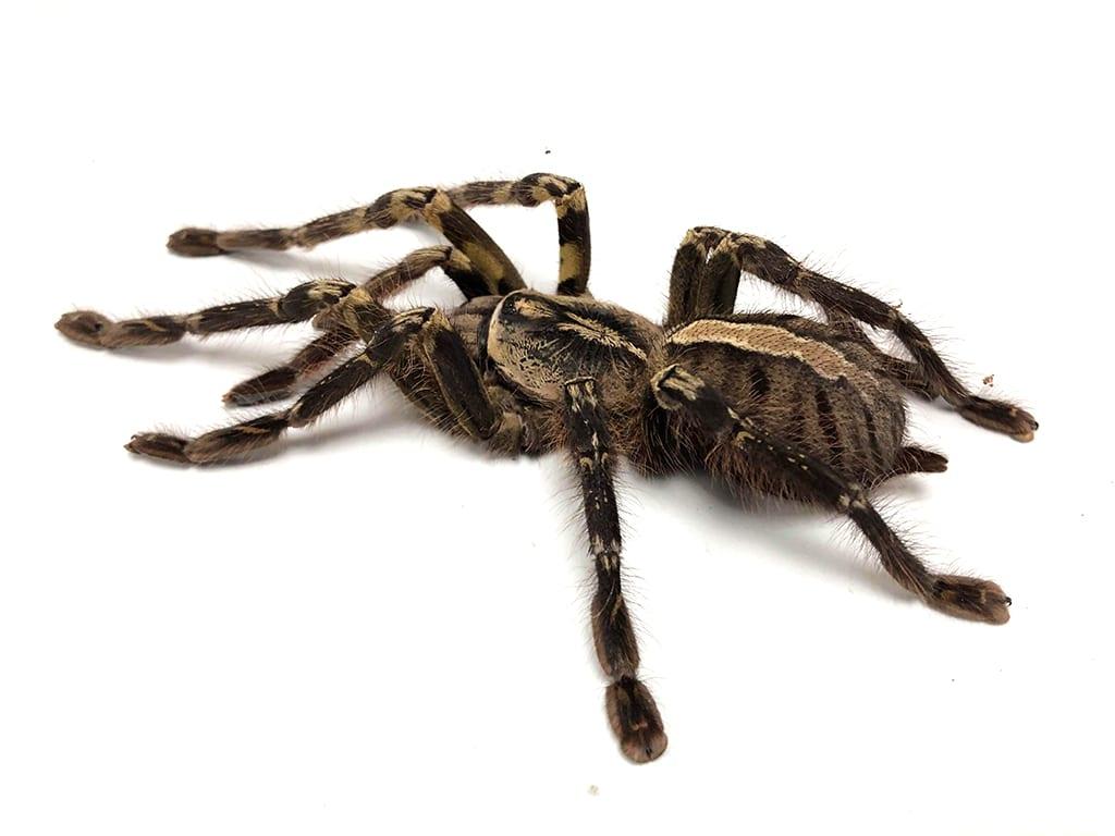 Tarantula general care
