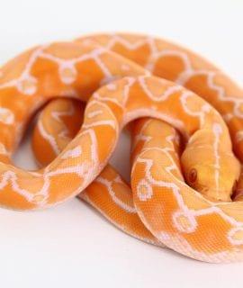 Male White Sunfire Mainland Reticulated Python CB18