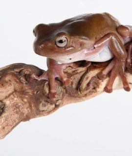 Unsexed Whites Tree Frog